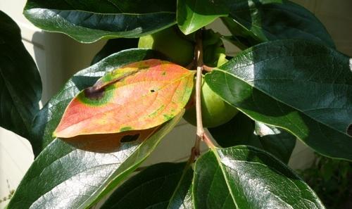 柿の葉 1.jpg
